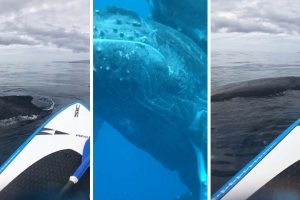 Humpback Whale Surprises Paddle Boarder 12