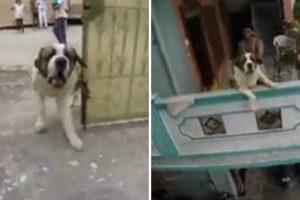 Freerunner Is Chased By Enormous Saint Bernard Dog As He Leaps Between Buildings 12