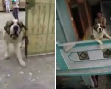 Freerunner Is Chased By Enormous Saint Bernard Dog As He Leaps Between Buildings 4