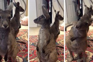 Cute Kangaroo Farts And Wafts Away The Smell 10