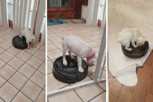 Adorable Puppy Loves Riding On Robot Vacuum 11