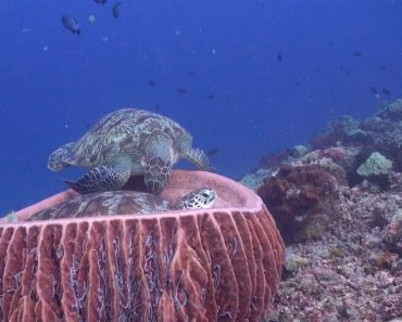 Endangered Sea Turtles Argue Over Napping Spot 2