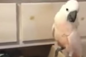 Cockatoo Decides To Organize His Owner's Socks 12