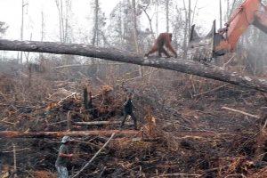 Orangutan Tries To Fight Bulldozer Destroying Habitat 11