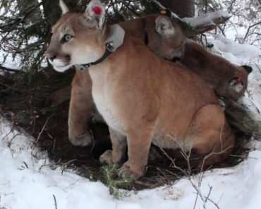 Short Film: The Secret Life of Mountain Lions 1