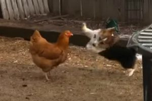 Corgi Play Fights With Chicken And Duck In Adorable Video 10