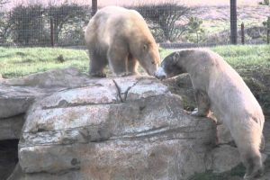 Two Polar Bears Meet For The First Time And Instantly Become Best Buds 11