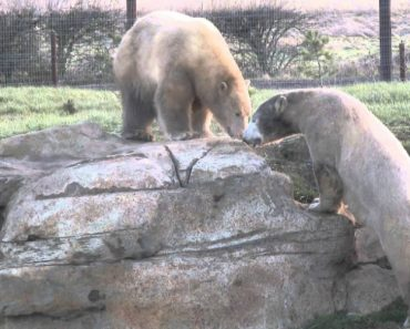 Two Polar Bears Meet For The First Time And Instantly Become Best Buds 9