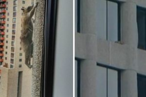 """Amazing """"Spidey"""" Raccoon Reaches Roof After Scaling Tower 1"""