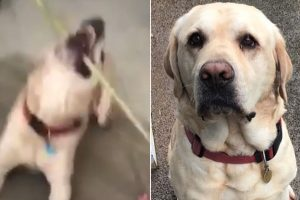 Genius Dog Lets Owner Back In After She Was Locked Out Of The House 12