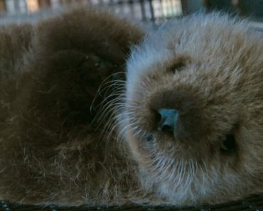 This Guy's Job Is To Groom Adorable Baby Otters All Day 2