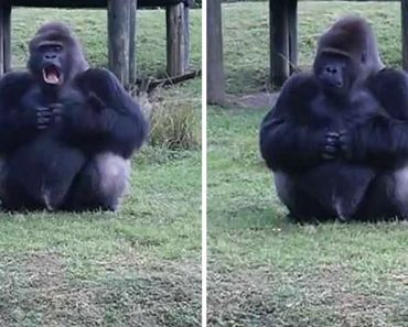 Gorilla Uses Sign Language To Tell Zoo Goers Not To Feed It But Then Breaks The Rules When His Trainer's Not Looking 7