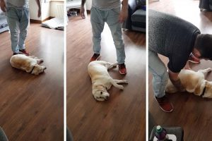 Dog Plays Dead To Stop Owners From Leaving Home 8