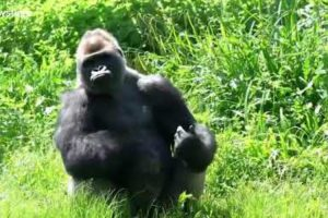 Silverback Gorilla Catches Tomato Like A Pro 11