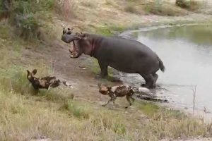 Angry Hippo Chases Off Wild Dogs 12