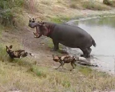 Angry Hippo Chases Off Wild Dogs 6