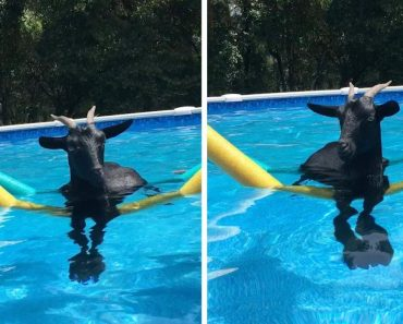Adorable Rescue Goat Goes Swimming 8