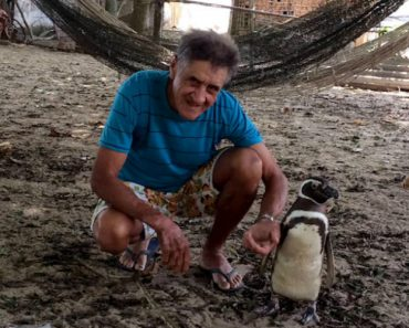 Patagonian Penguin Finds Second Home In Brazil 8
