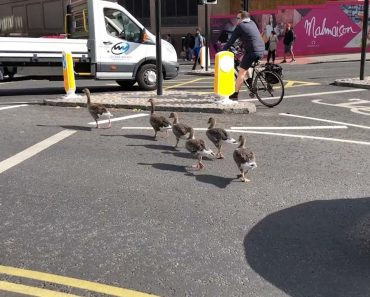 Adorable Ducklings Stop Traffic To Cross Road 9