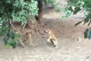 Zoo Visitors Witness Rare Sight Of Two Tigers Fighting Over Prey 12