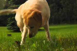 When a Yellow Lab Found a Baby Bunny In Her Yard, She Had The Best Reaction 10