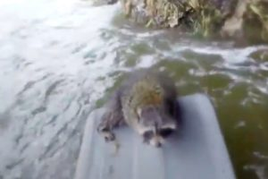 Guy Swims Across Rapids To Save Raccoon 11