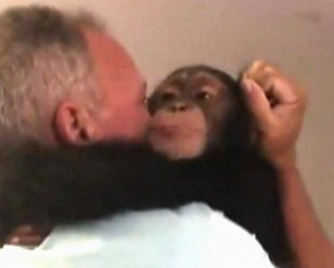 Chimp Overjoyed as It Meets With Foster Parents Who Raised Him 2