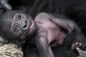 Proud Mama Gorilla Shows Off Her New Baby at Chicago Zoo 10