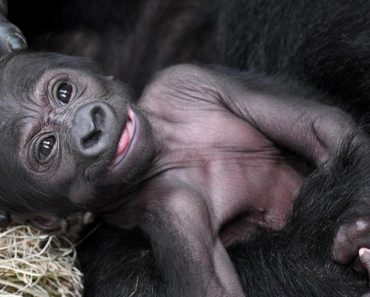 Proud Mama Gorilla Shows Off Her New Baby at Chicago Zoo 2