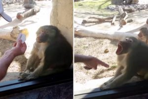 Baboon Reacts To Magic Trick Like An Amazed Little Kid 11