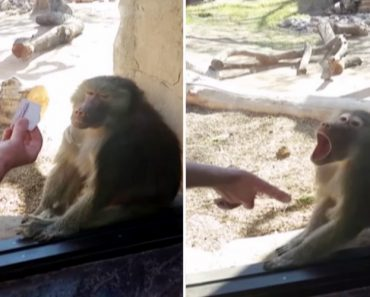 Baboon Reacts To Magic Trick Like An Amazed Little Kid 9