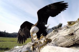 Bald Eagle Steals GoPro And Goes On Epic Flight With It 12