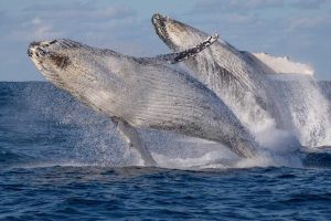 Incredible Double Humpback Whale Breach 11