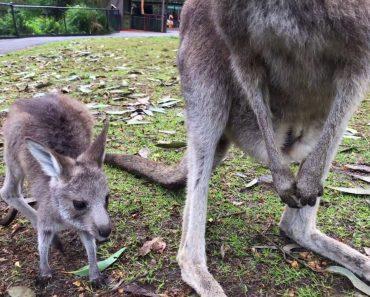 Kangaroo Joey Takes First Hops 9