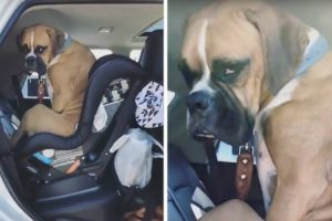Stubborn Dog Hilariously Refuses To Vacate A Rear Facing Infant Car Seat He Erroneously Thinks Is His 11