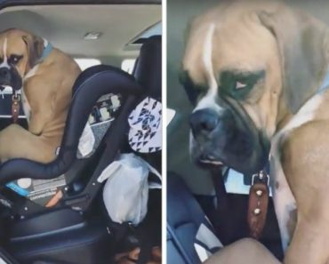Stubborn Dog Hilariously Refuses To Vacate A Rear Facing Infant Car Seat He Erroneously Thinks Is His 8