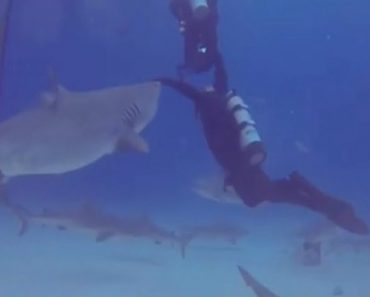 Diver Saved His Diving Partner From A Potential Tiger Shark Attack 1