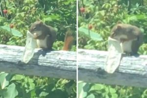 Squirrel Is Caught On Camera In Stomach-Churning Video Eating Out Of A Used Condom! 12