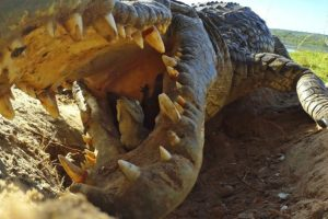 Crocodile Scoops Up Babies Into Mouth, Along With Spy Croc Camera 11