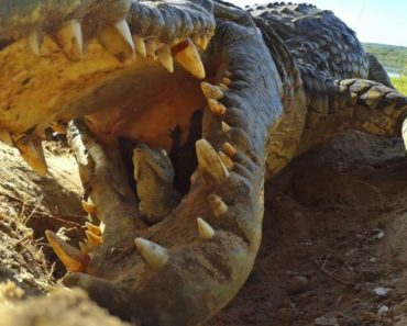 Crocodile Scoops Up Babies Into Mouth, Along With Spy Croc Camera 8