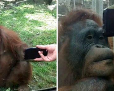 Hilarious Moment When an Orangutan Watches a Video of Other Orangutans 8