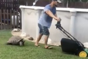 A Surprisingly Quick Moving Tortoise Chases His Lawn Mowing Human Around The Yard 12