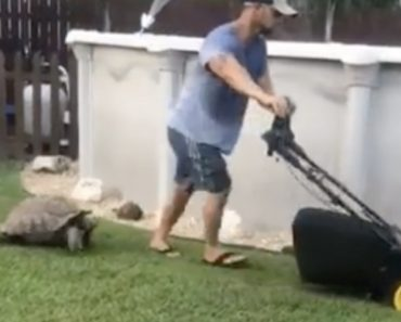 A Surprisingly Quick Moving Tortoise Chases His Lawn Mowing Human Around The Yard 6