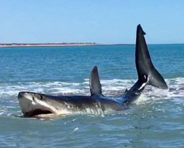 Man Finds 15-Foot Great White Shark In 3 Feet Of Water 8