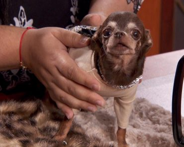 World's Smallest Dog Lands in Court Over Cloning Controversy 5