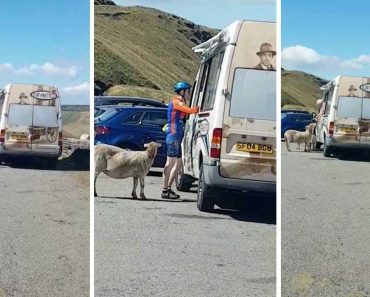 Sheep Queue For Ice Cream In UK Heatwave 8
