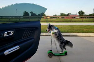 """Dog on Scooter has Best """"Shiggy Challenge"""" Video Yet 11"""