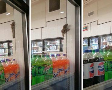 Sneaky Rat Has Fun Climbing Around 7-Eleven Store 1