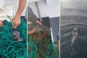 Heartwarming Video Shows The Moment Kind Lobstermen Free A Helpless Seal Pup Trapped In Fishing Nets 10