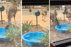 Desperate Emus Invade Garden To Drink From Pool In Drought 10